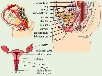 Female Anatomy   aagklithopedion